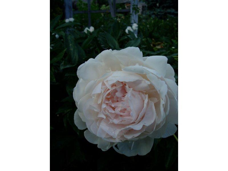 Пион Rose Marie Lins