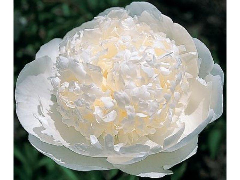 Пион Bridal Gown
