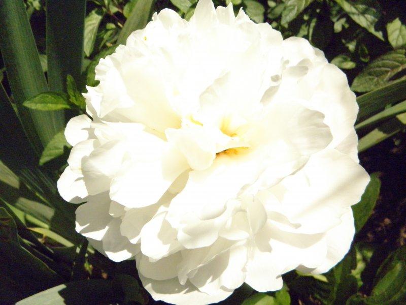 Пион White Wicker корневища