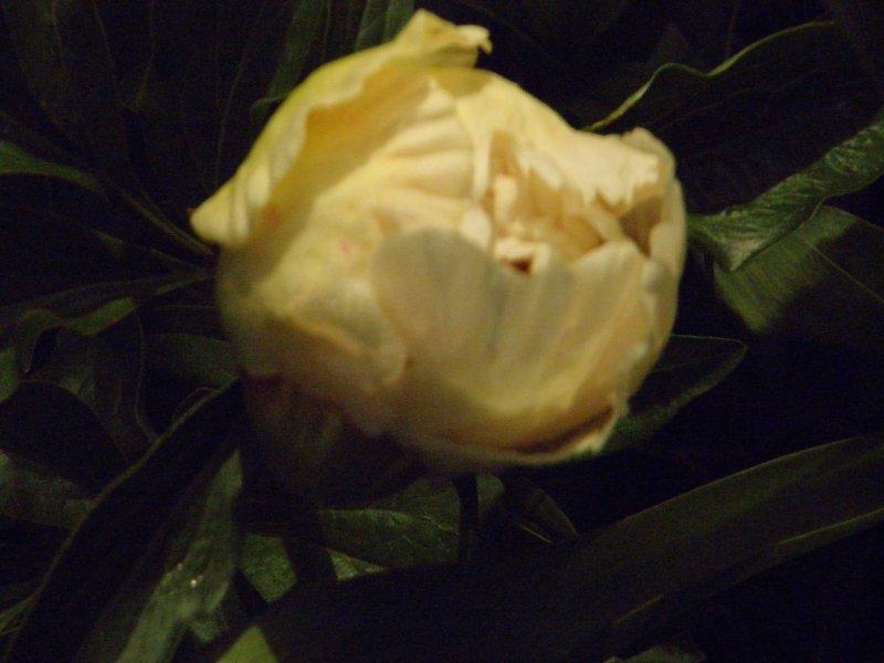 Пион Roselettes Child корневища