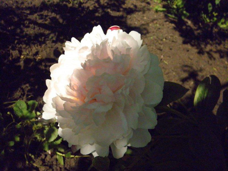 Пион Serene Pastel корневища