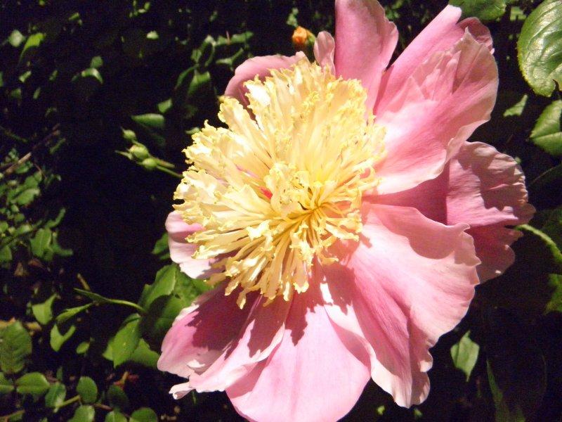 Пион Bowl of Beauty  корневища