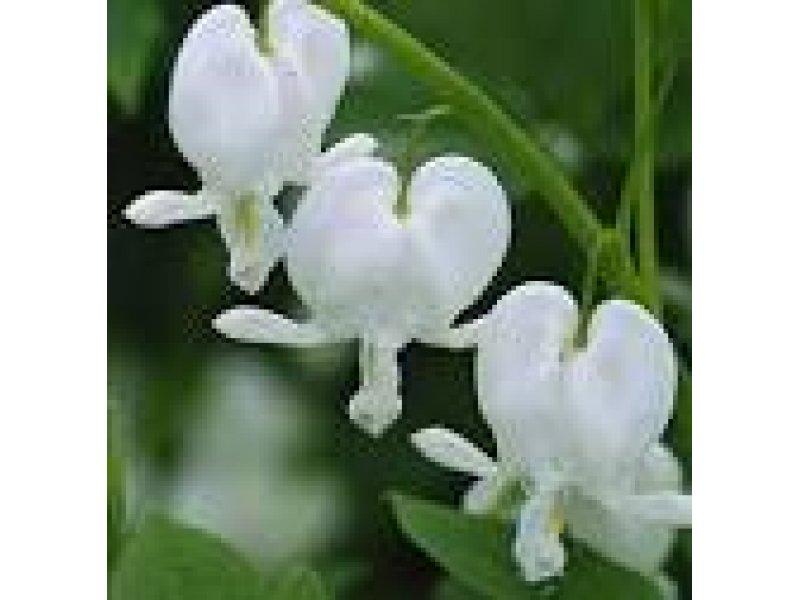 Дицентра spectabilis Alba корневища
