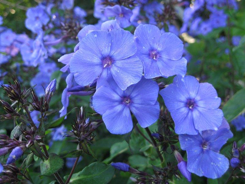 Флокс  Blue Paradise