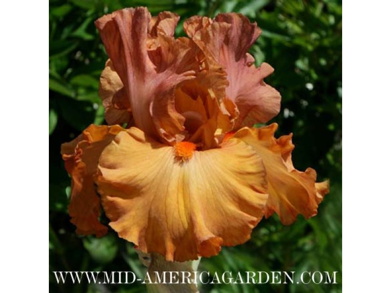 Ирис Flame Amber  корневища