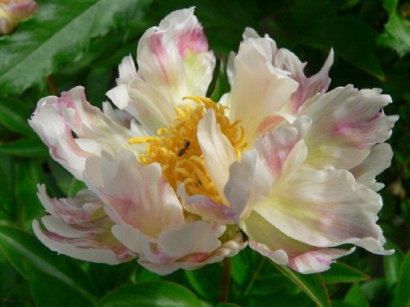 Пион Green Lotus корневища