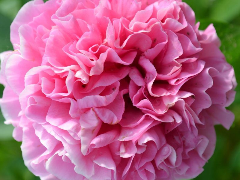 Пион Carnation Bouquet