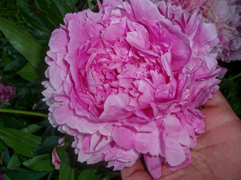 Пион Sarah Bernhardt корневища