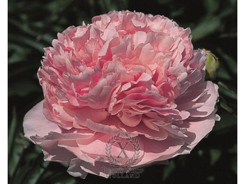 Пион Pink Parfe